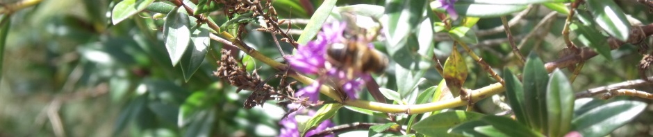 Honey bee on hebe