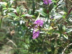 Hebe with honey bee mid flight