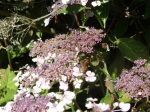 This bee is in flight near a hydrangea head and is harder to spot!