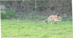 Fox in the field next to the apiary