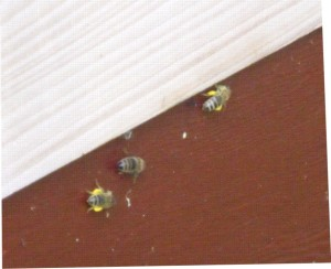 Bees with honey baskets full of yellow pollen