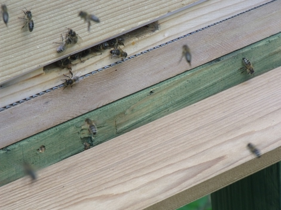 The swarm bees, installed in their new hive (Hive 2)