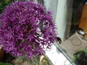 Allium with bee