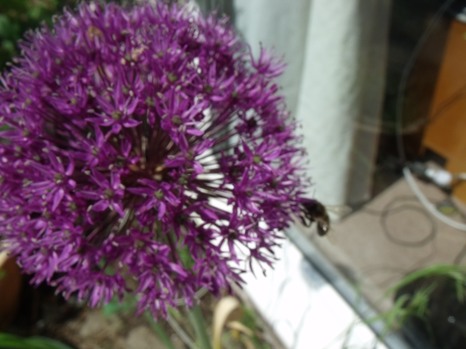 Allium with bee