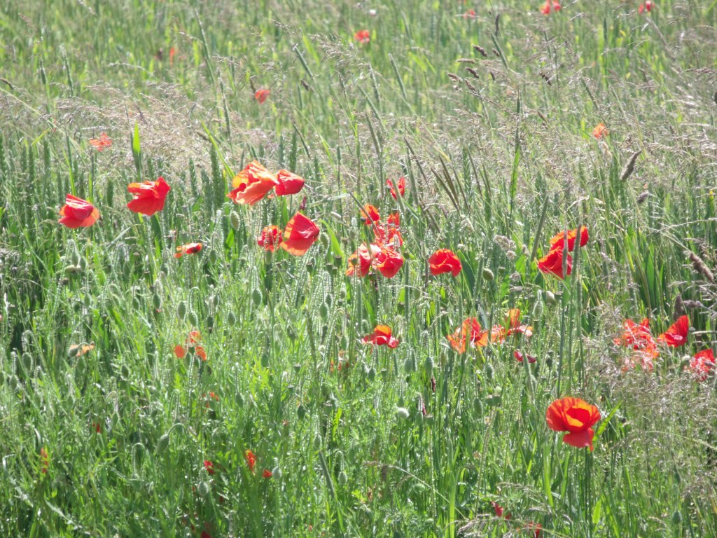 Poppy meadow, Oxfordshire