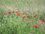 Poppy meadow, Oxfordshire
