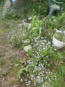 Forget-me-knots and alliums near hive