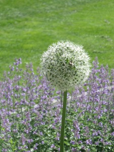 White allium and more bee friendly plants